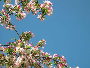 Apple_blossoms_2