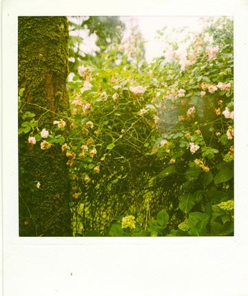 Rambling_rose_7