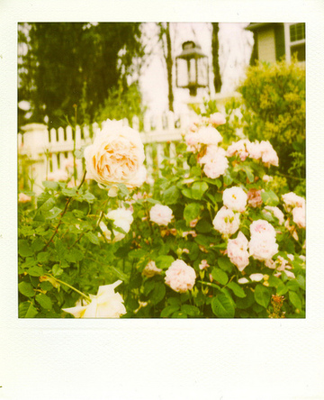 Roses_front_4