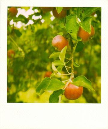 Apple_pola