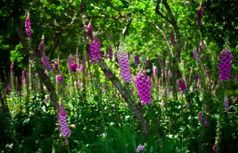 Foxgloves oysterville
