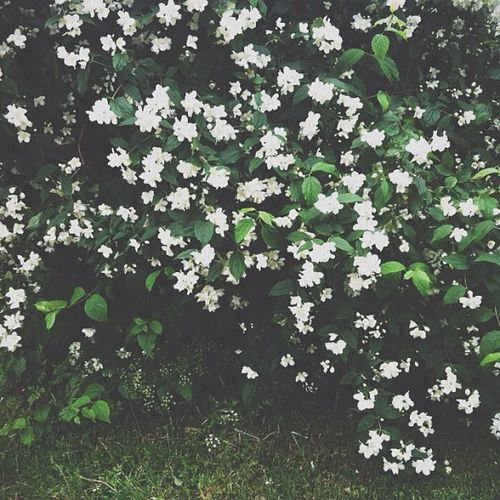 Mock orange sweden
