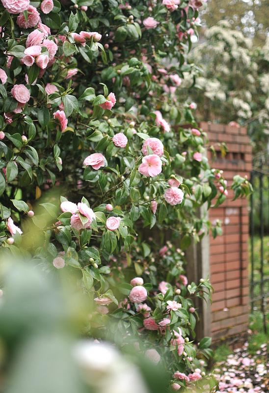 Camellias frolic