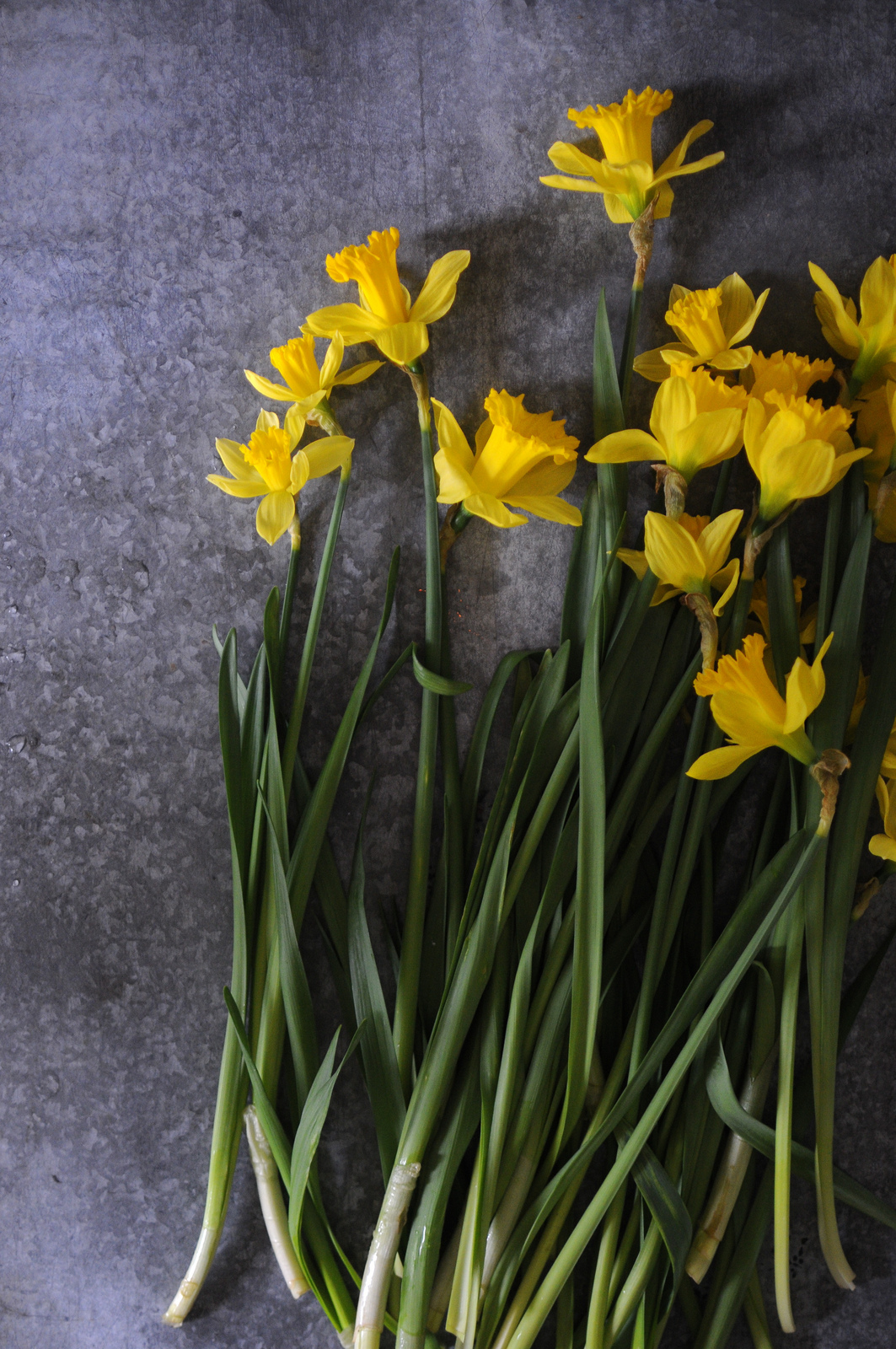 daffodils frolic
