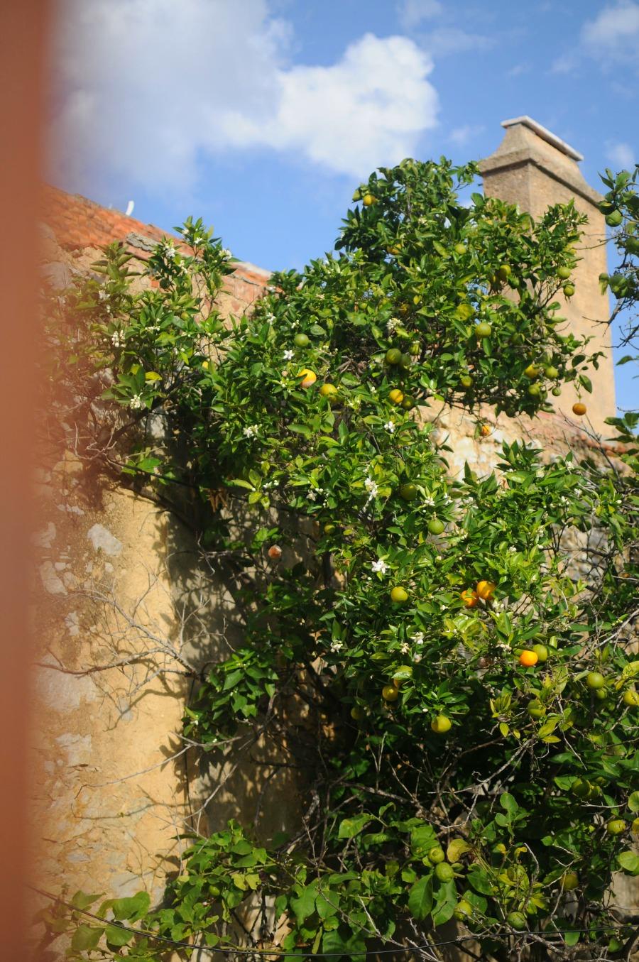 orange trees portugal