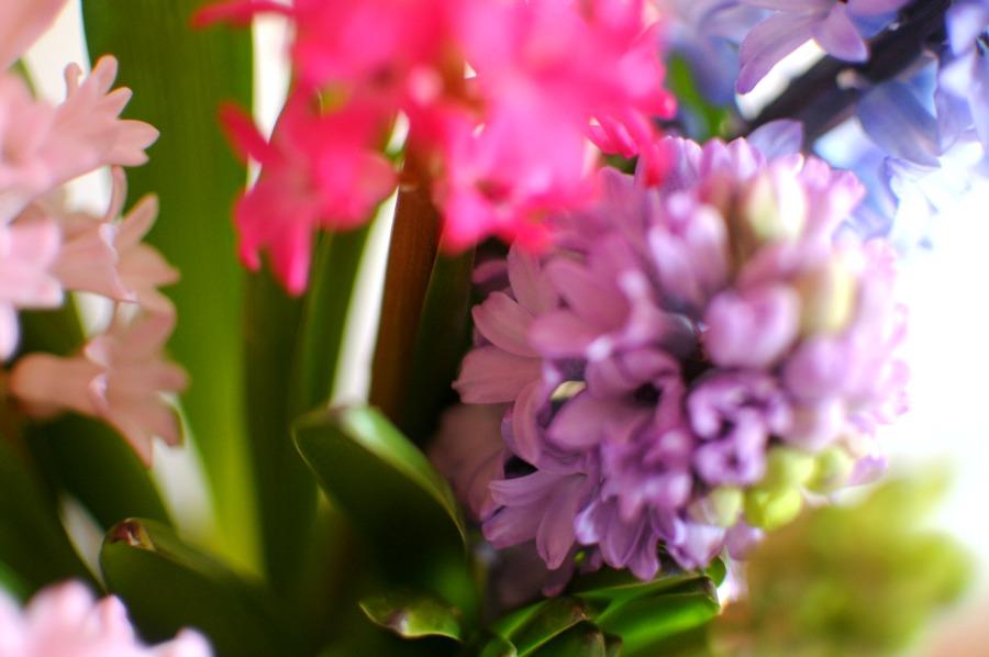 hyacinths frolic january