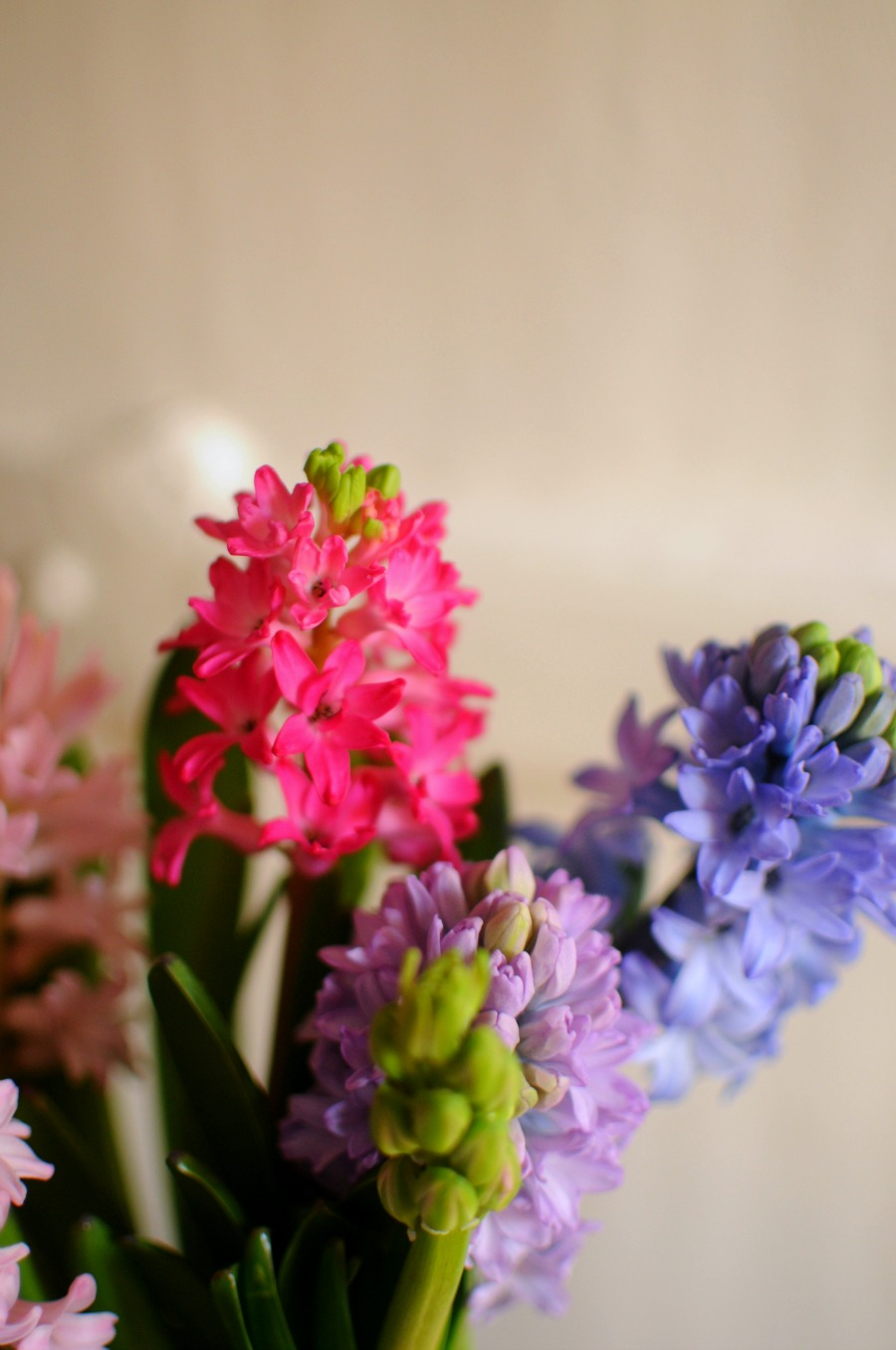 hyacinths january