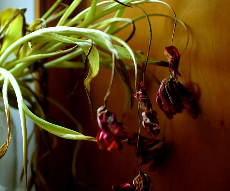 tulips dried