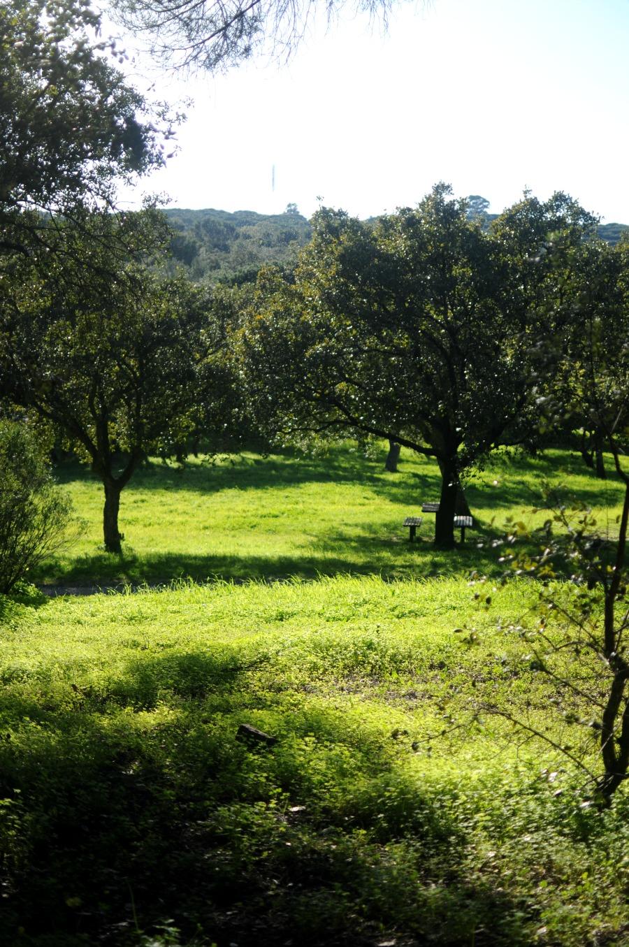 monsanto olive