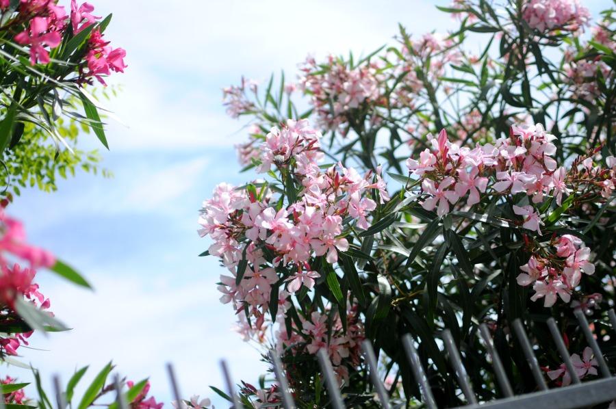 oleander 2