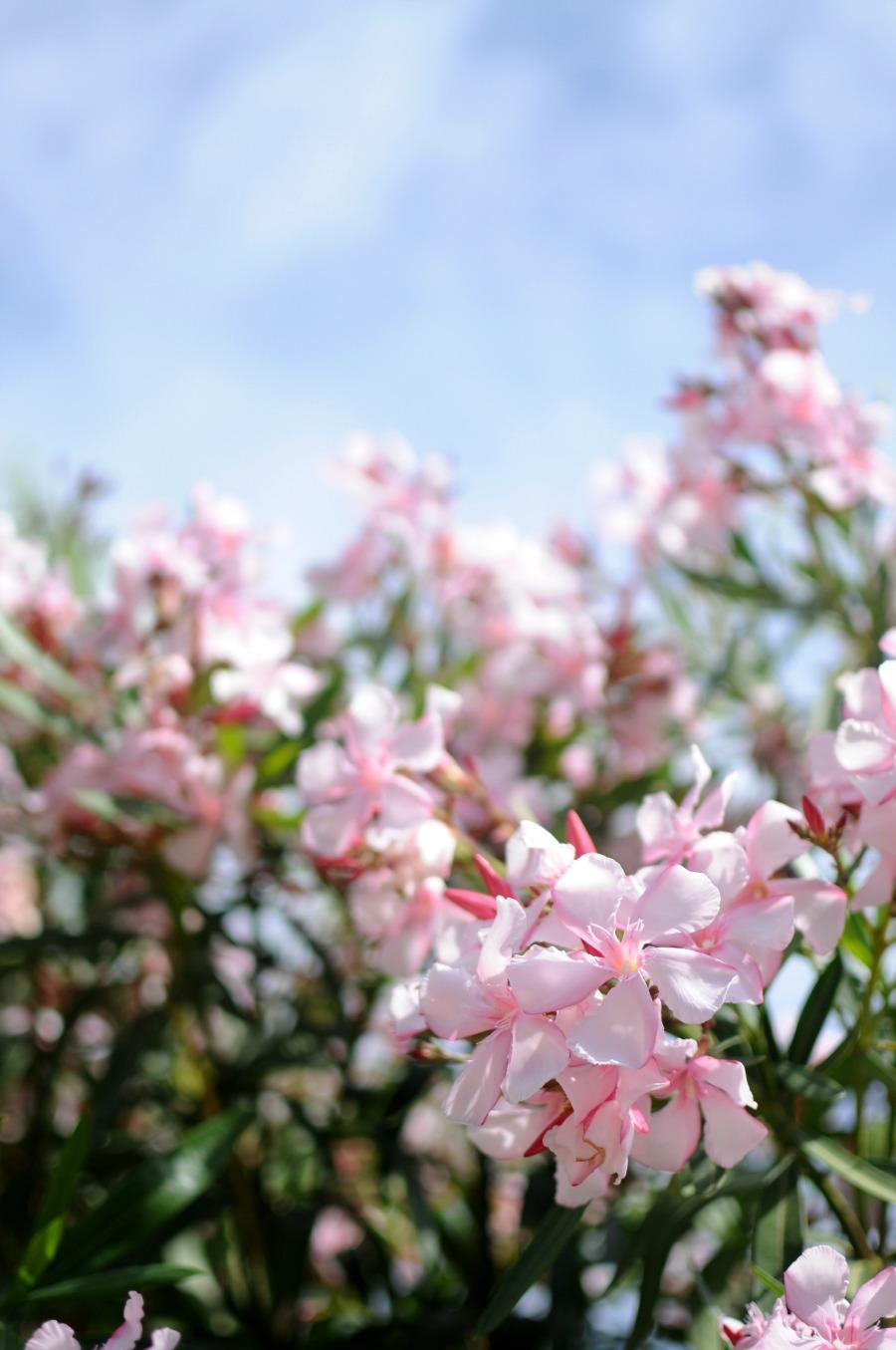 oleander lisbon