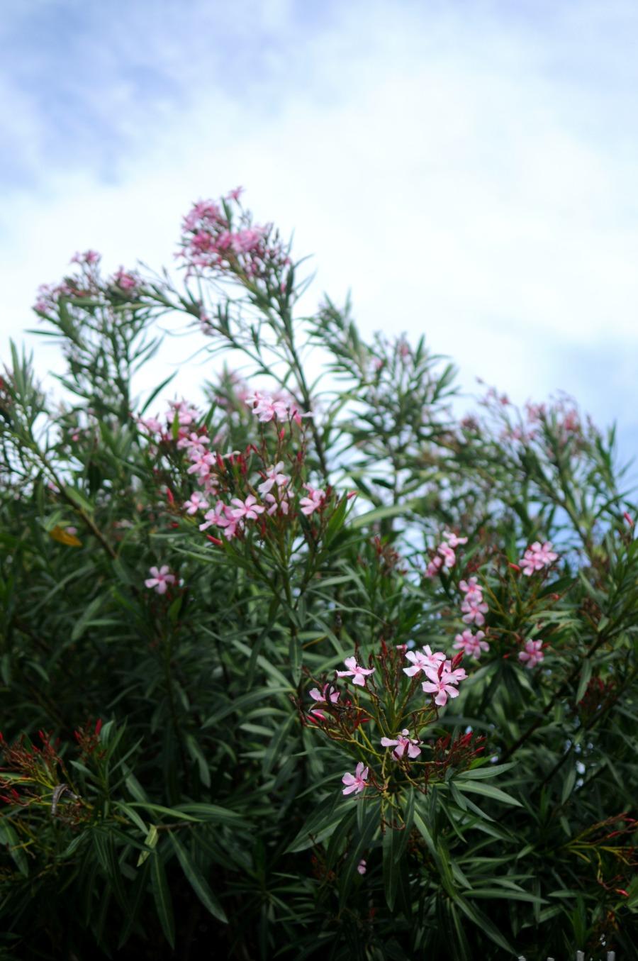 oleander portugal santos