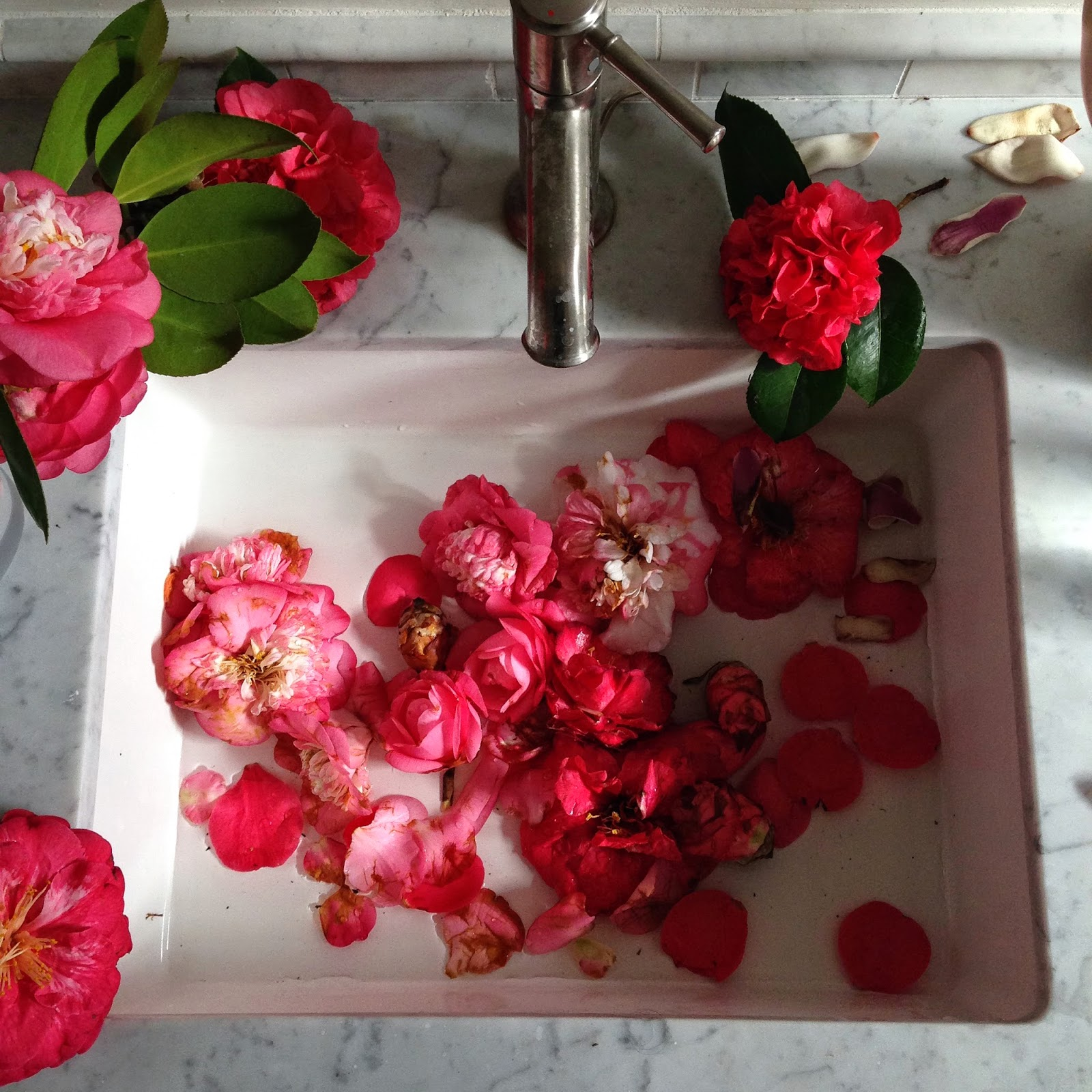 camellias sophia moreno bunge