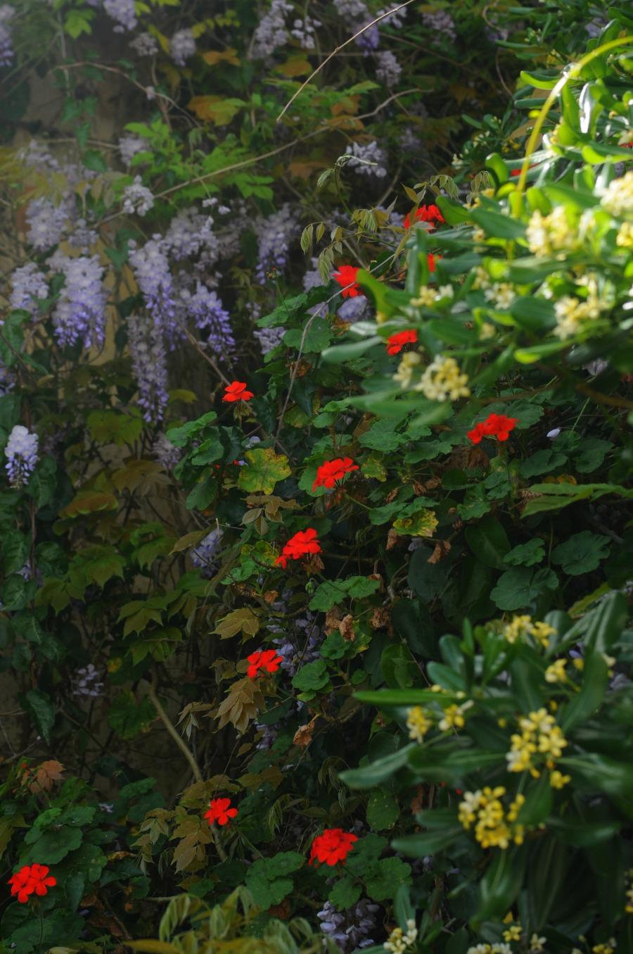 wisteria geranium pittosporum