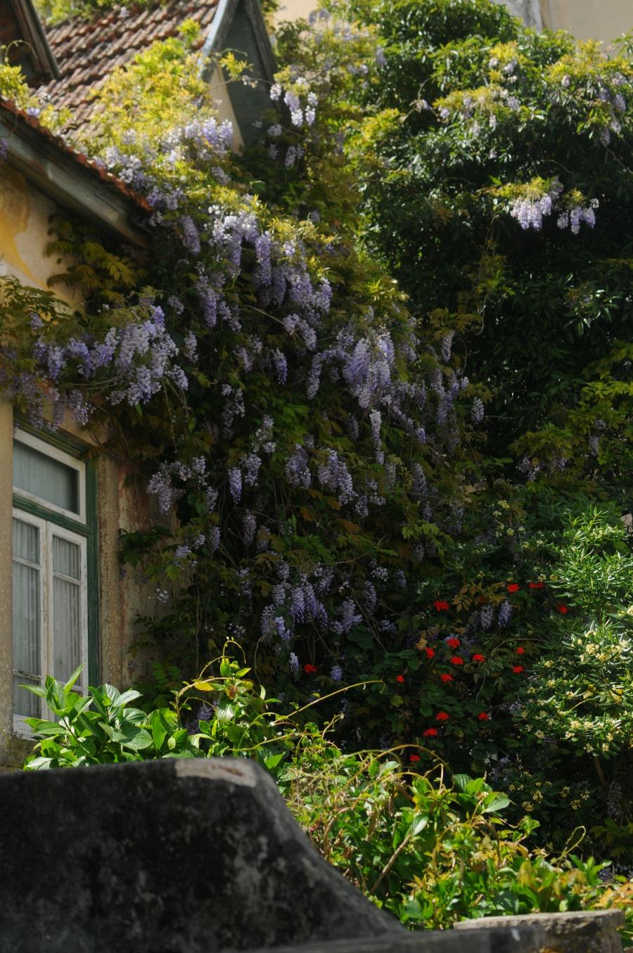 wisteria sintra